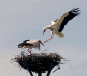 No todas las parejas tienen crías, bien por inmadurez sexual, bien porque pierden la nidada por caídas. Una estimación visual realizada durante dos años de seguimiento fotográfico permite deducir que un 30% de las parejas no tuvo descendencia.