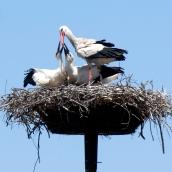 Los cigüeñinos tienen el pico negro y un hambre voraz porque deben desarrollarse en apenas tres meses.