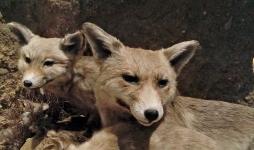 Detalle del grupo de zorros, de Luis Benedito.