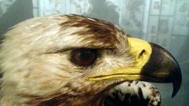 Águila calzada, de José María Benedito