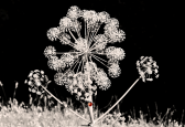 La flor del hinojo en la cuenca media del río Guadarrama